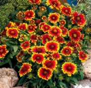 Gaillardia Arizona Sun - 15 seeds